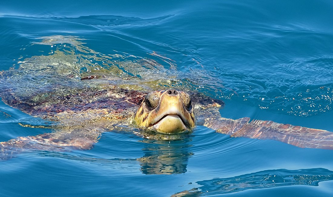 Caretta Caretta schildpad op Zakynthos